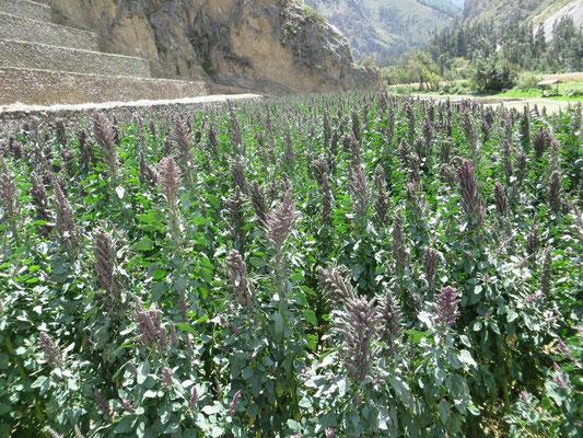 Quinoa-Feld
