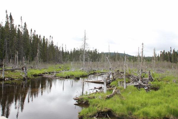 immer wieder kleine Seen und Tümpel im Wald