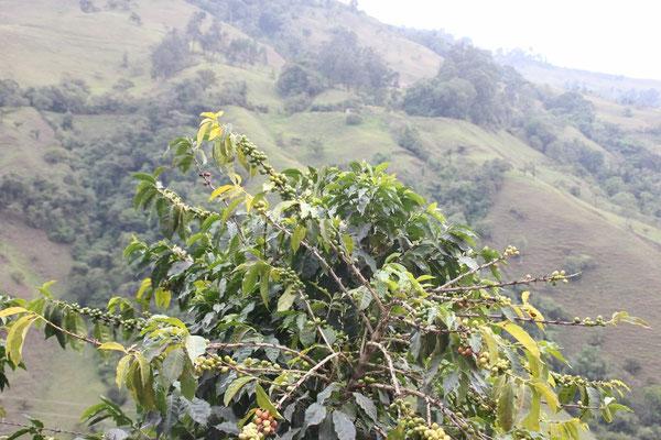 Hier kommt also der berühmte kolumbianische Kaffee her!