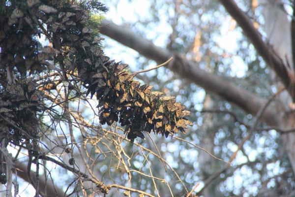 Monarch-Schmetterlinge überwintern hier.