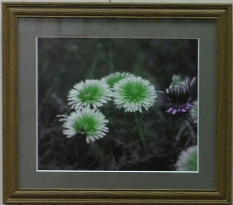 竹田辰興:ミツバチの世界のタンポポ(紫外線写真)