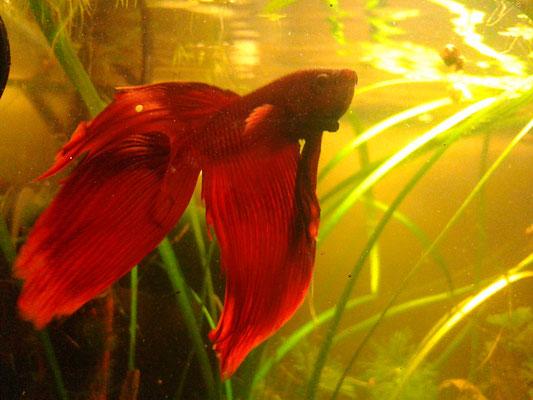 Kampffisch Männchen - Betta splendens
