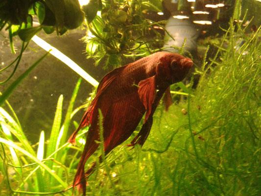 Männchen des siam. Kampffisch - Betta splendes, Name: Ferro