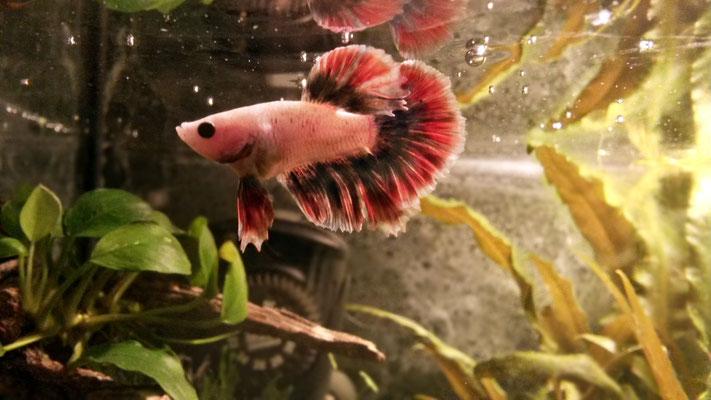 Männchen des siamesischen Kampffisches - Betta splendens , Zuchtform: Halfmoon