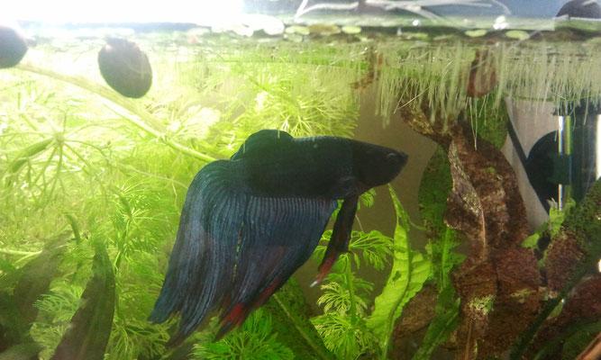 Männchen des siam. Kampffisch - Betta splendens