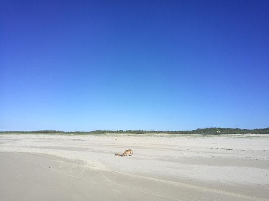 wilder Dingo (sowas wie wilder Hund) auf Fraser