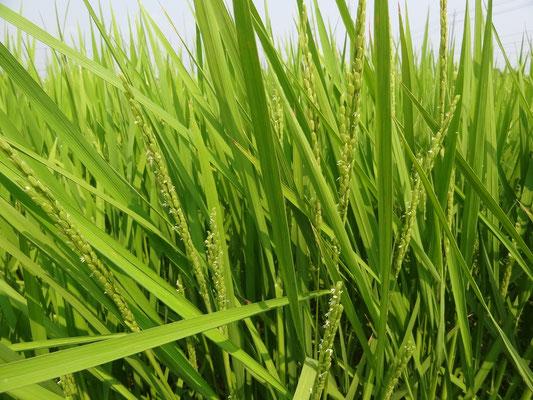8月 稲の花