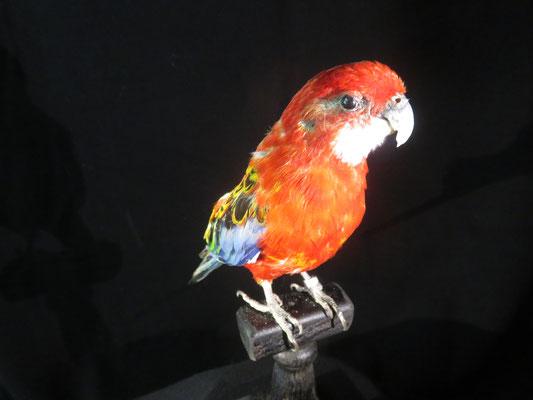 ref 8309 perruche grand couleur