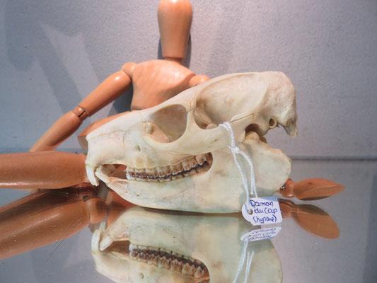 ostéologie crâne de Hyrax ref 7988 hyr