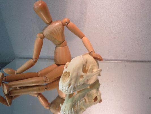 ostéologie crâne de blaireau ref 7988 bl