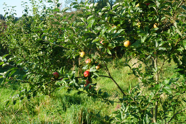 One of our apple trees