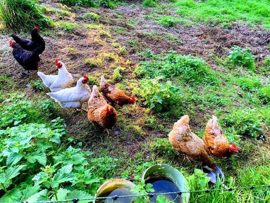The hens of Ballyroe