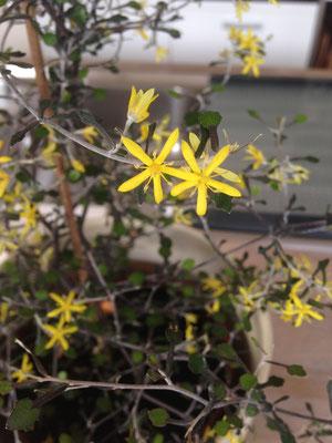 Die Blüten duften nach Vanilla