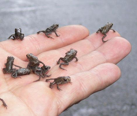 """Junge Erdkröten beim """"Froschregen"""" - Bild: J. Niederstrasser"""
