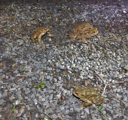 Erdkrötenpaar mit Konkurrenz