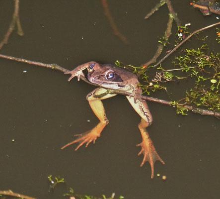 Männlicher Springfrosch