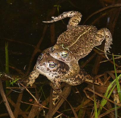 Kreukröten Paar hat sich gefunden