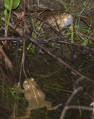 rufendes Kreukröten Männchen