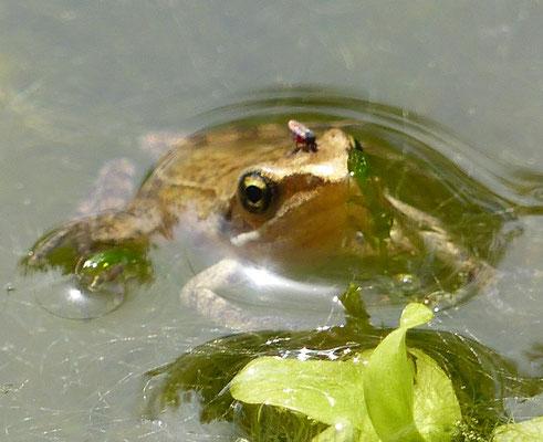 juveniler Springfrosch, Weiherwald