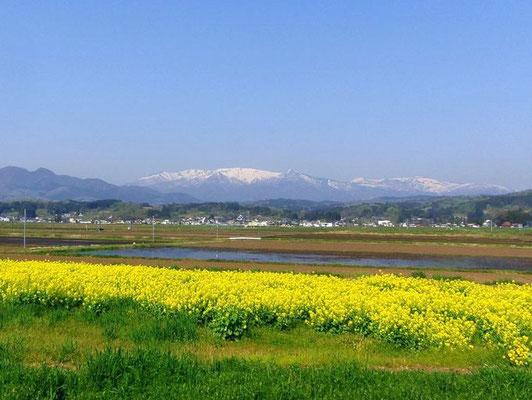 蔵王 菜の花畑