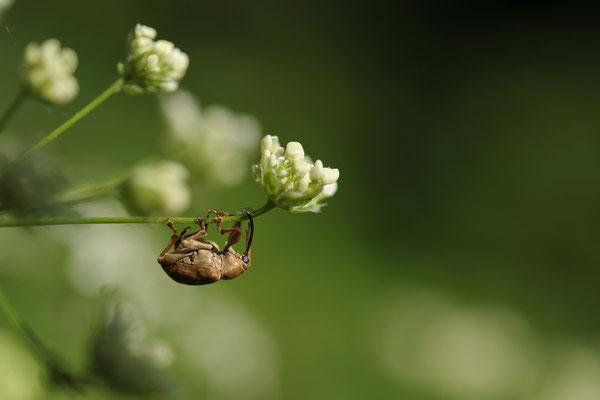 Rüsselkäfer - Eichelbohrer