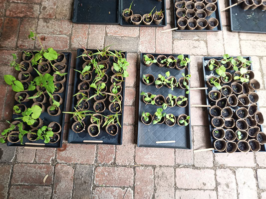 Microgreens trays with seedlings for the RAS case study