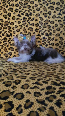 Del Terro Perros Klipsa Mademoiselle. Вл. Zaida Gonzalez (Puerto Rico, San Juan)