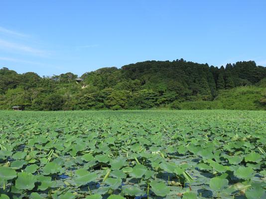 蓮池の風景