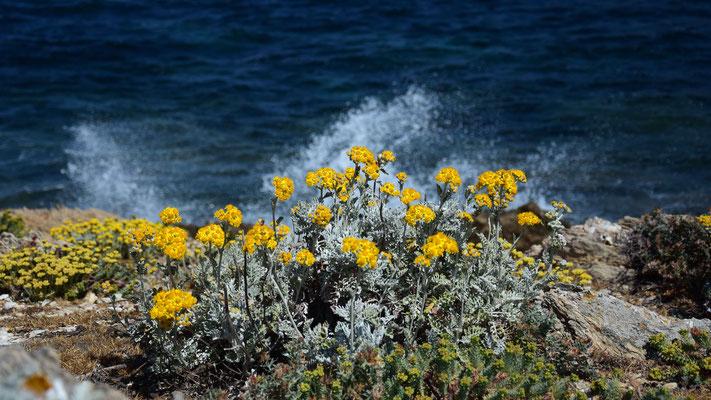 Blumen, Mittelmeer, Südfrankreich, flowfly
