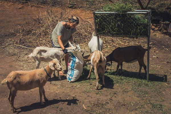 Tierfütterung der verrückten Ziegen.