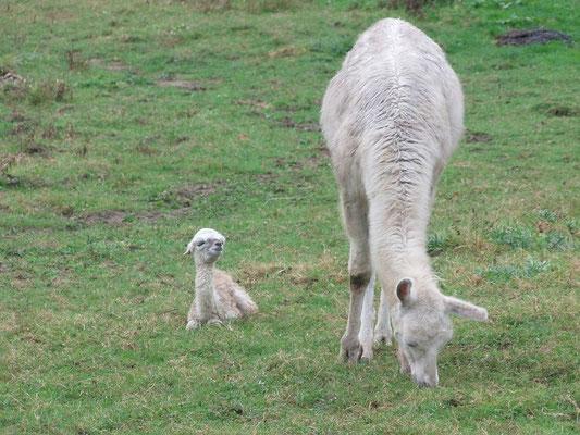 Famille Lama du Moulin Bertrand 02860 MARTIGNY-COURPIERRE