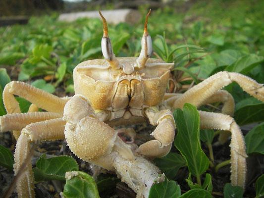 Ocypodes cursor (cangrejo fantasma)