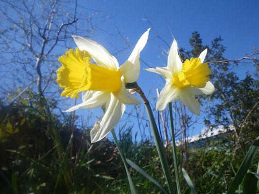 Jonquilles, les fleurs de mon enfance.