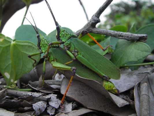 Saltamontes acopling (Pyrgomorphidae)