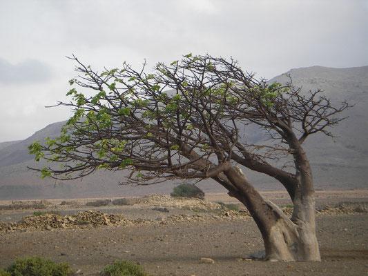 Baobab, Ilha de Boavista, Cabo Verde