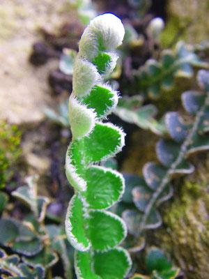 Doradilla (Ceterach officinarum)