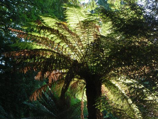 Fern Tree, Trebbah Gardens, Cornwall