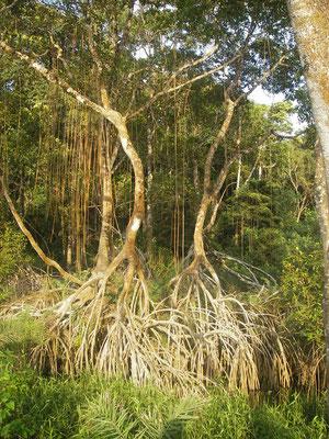Rizophora mangle (les danseurs du ventre)