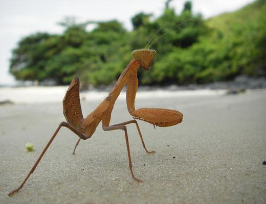 Mantis de arena, Pointe Ngonbé