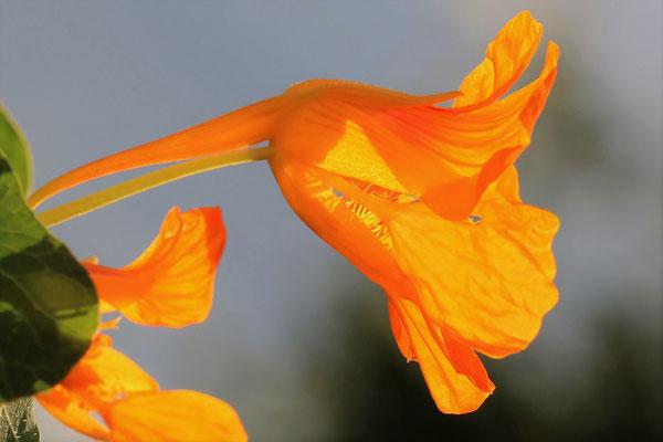Blume, Peter Hoffmann