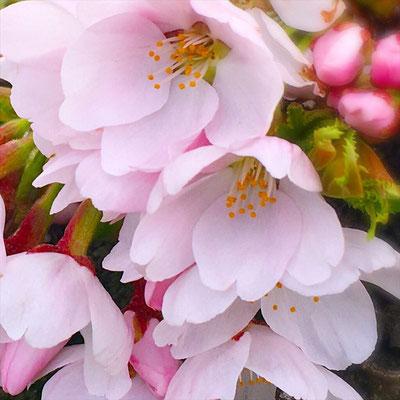 <s20-166>wildflowers.megamikoさん:クローズアップ/4月21日(火)/長野県岡谷市地権現町 横河川