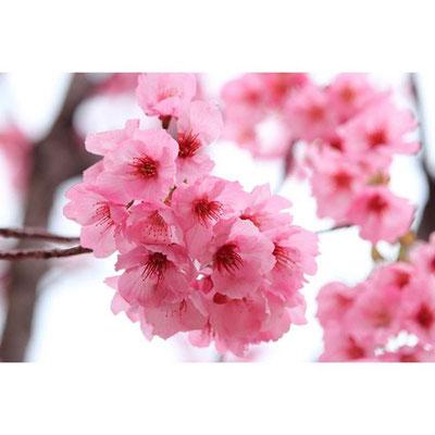 <s20-140>yu_ichi_photoさん:陽光桜/3月31日/熊本県野外劇場アスペクタ