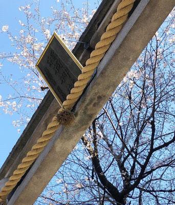 〈s20-023〉アジフライさん:近所の神社も咲いてきました/3月24日(火)/世田谷区