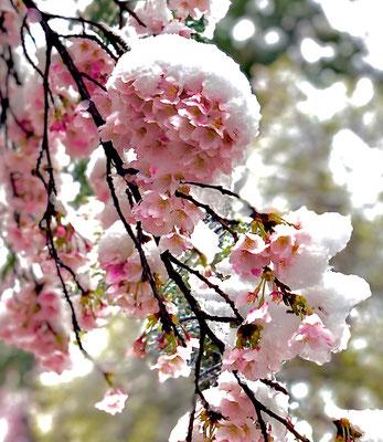 〈s20-052〉矢崎泰弘さん:雪帽子の桜/3月29日(日)/大宮公園