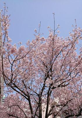 〈s20-017〉ロンさん:桜と青空はいいね/3月22日(日)/厩橋