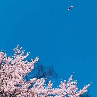 <s20-158>amyko_oさん:朱鷺色桜色。/4月17日(金)/佐渡