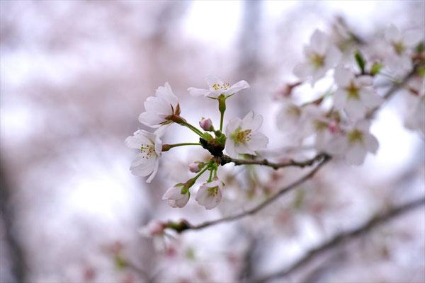 <s20-061>nanumotoさん:艶姿/2019年3月31日(火)/松戸市観音寺
