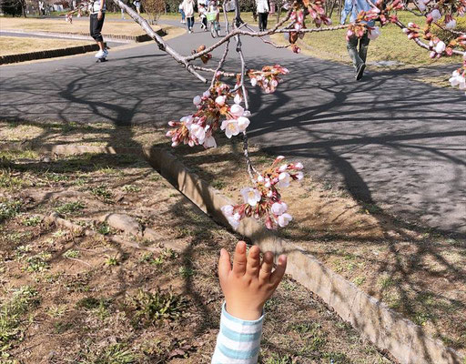 〈s20-009〉堀江愛蘭さん:桜に手を伸ばす2歳の息子/3月21日(土)/埼玉県の大宮花の丘農林公苑