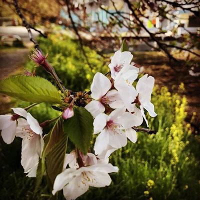 〈s20-125〉dora_akiiiさん:まだ桜が残ってた/4月8日(水)/埼玉県