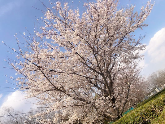 〈s20-015〉ピューマ201さん:今年初の夏日/3月22日(日)/埼玉県所沢市
